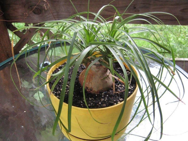 Циперус цветок — уход в домашних условиях, грунт