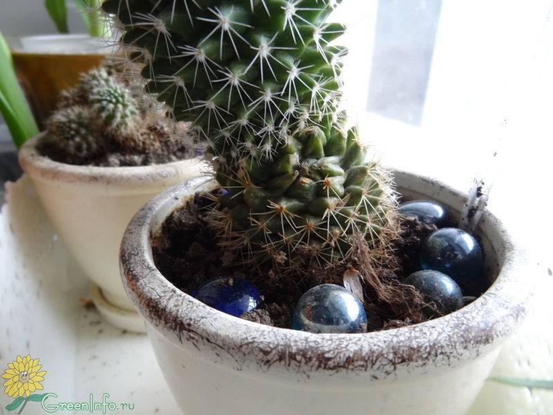 Вредители и болезни кактусов: описание и лечение