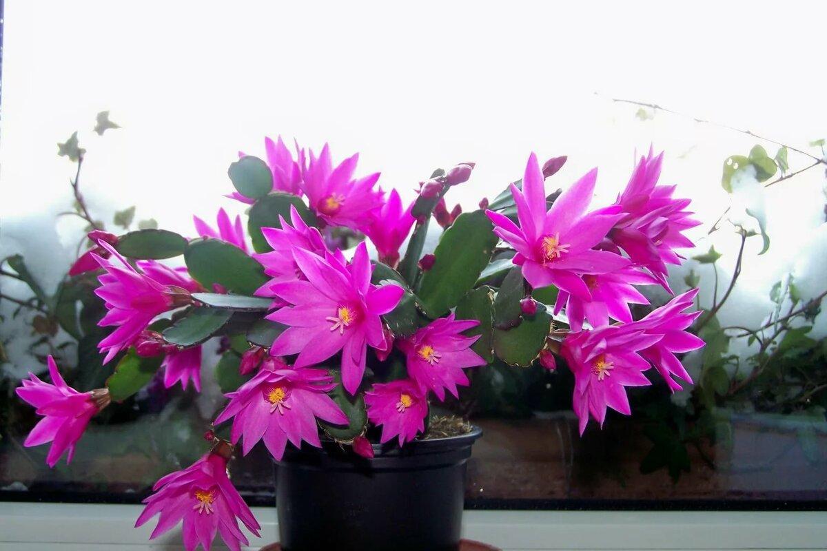 Лесной кактус — «рипсалидопсис» (пасхальный кактус): фото и уход в домашних условиях
