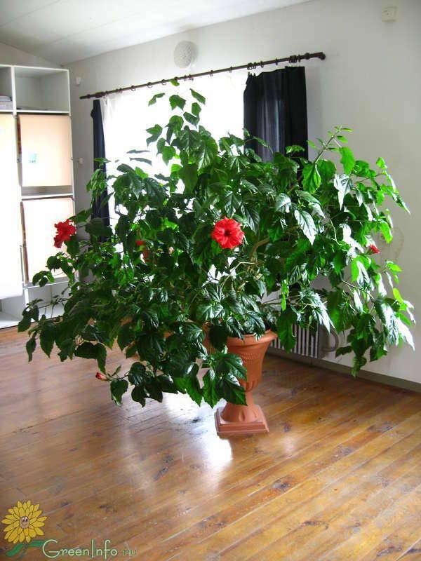 Розовое дерево: цветущий букет