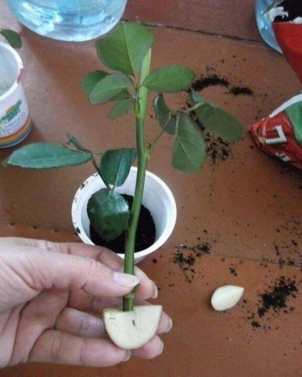 Розы: выращивание из семян купленных в китае - roza-i-fialka.ru