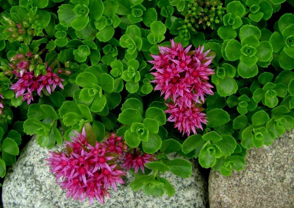 Выращиваем седум ( очиток) открытом грунте. разнообразие садовых видов. рекомендации по уходу