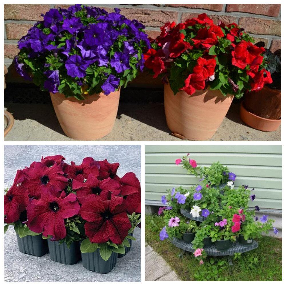 Вносим удобрения для петунии для обильного цветения в домашних условиях