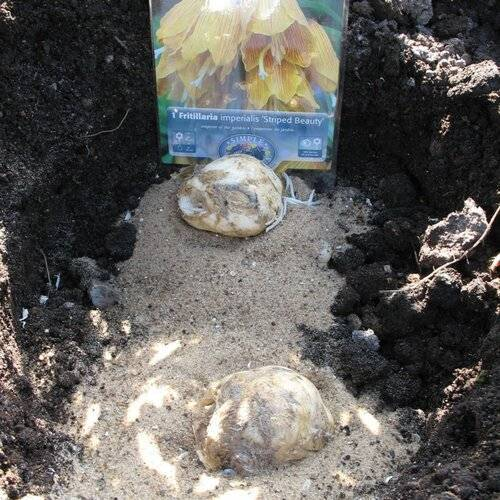 В какое время правильно выкопать рябчики по окончанию цветения для посадки потом