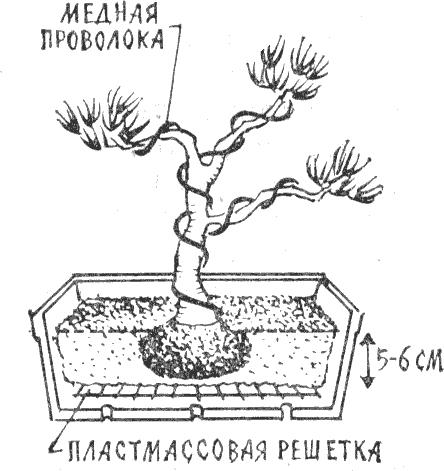 Как вырастить бонсай из семян в домашних условиях из китая
