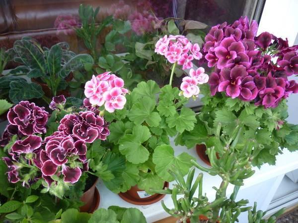 Чем подкормить герань в домашних условиях? удобрения для обильного цветения зимой, подкормки для листьев пеларгоний