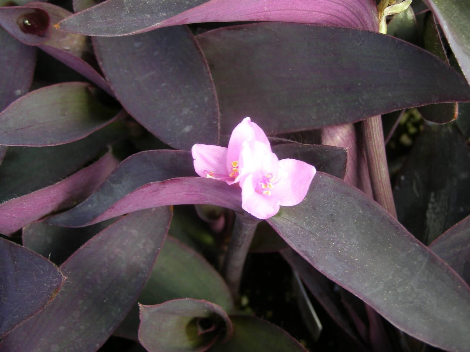 6 лучших комнатных цветков с фиолетовыми листьями