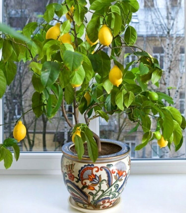 Описание сорта лимона мейера и уход в домашних условиях