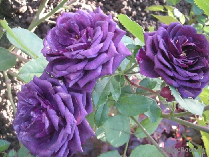 Розы для сада - описание, виды и сорта, фото.