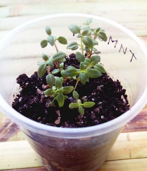 Тимьян: выращивание из семян в открытом грунте