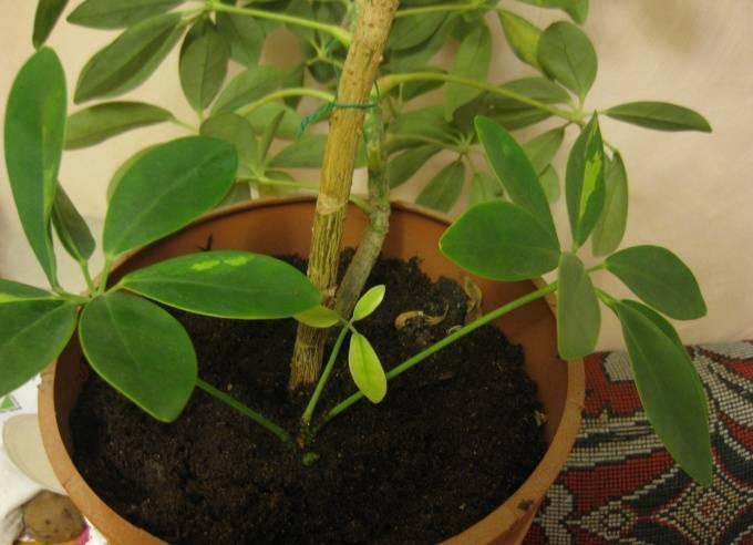 Размножение шеффлеры в домашних условиях: черенками, листьями, семенами