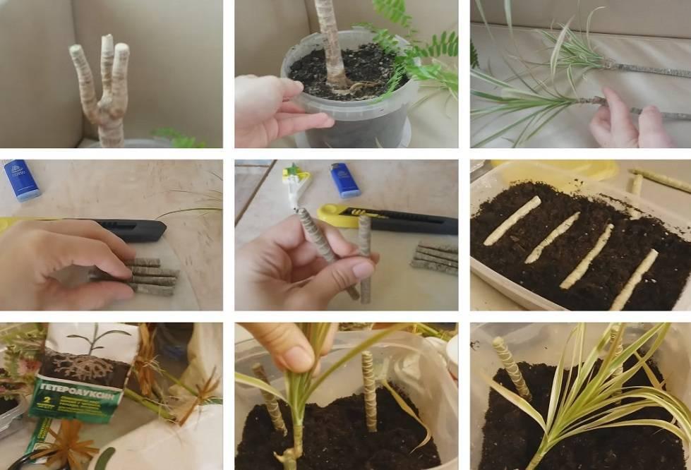 Выращивание броваллии из черенков и семян в домашних условиях