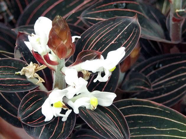 Орхидея лудизия: основные виды и варианты ухода в домашних условиях