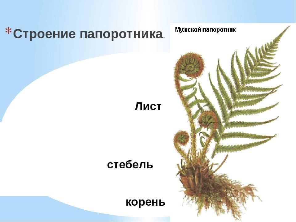Папоротникообразные растения. признаки, строение, классификация и значение