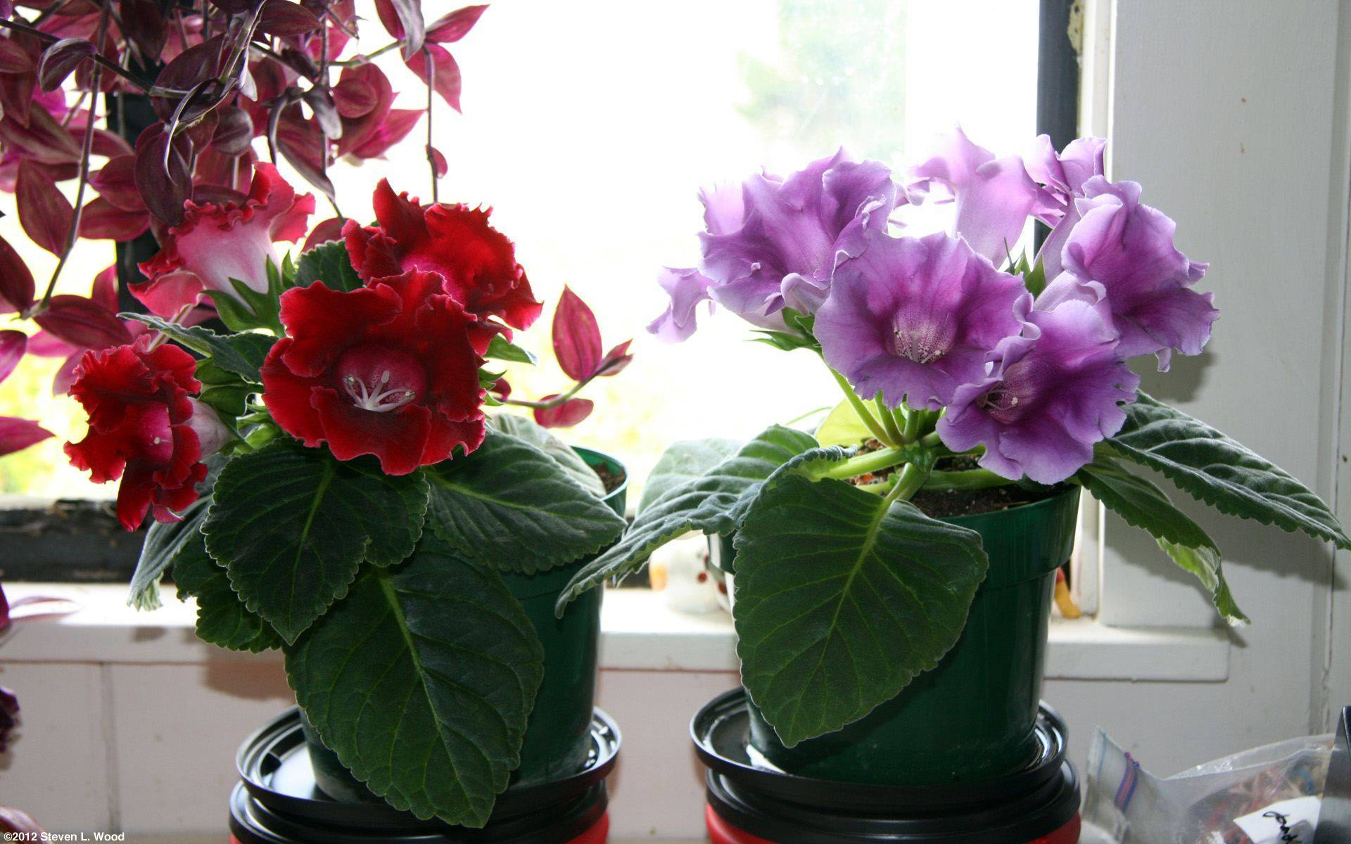 Уход за глоксинией в домашних условиях: как правильно выращивать, когда обрезать на зиму и нужно ли опрыскивать цветок в горшке, а также его названия и фото