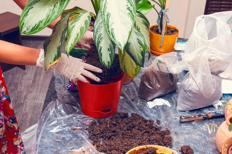 Калатея: уход в домашних условиях, трудности выращивания, пересадка и фото