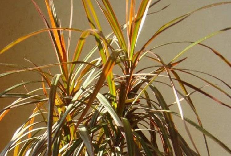 Цветок хамедорея — сохнут листья, что делать