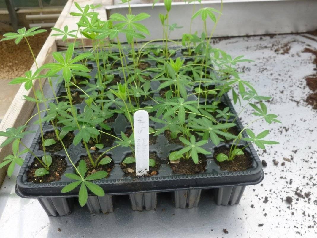 Как вырастить аквилегию из семян?