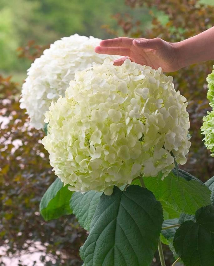 Манящая гортензия: стоит ли прикасаться к прекрасному растению?